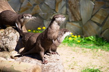 Otter Family In Zoo