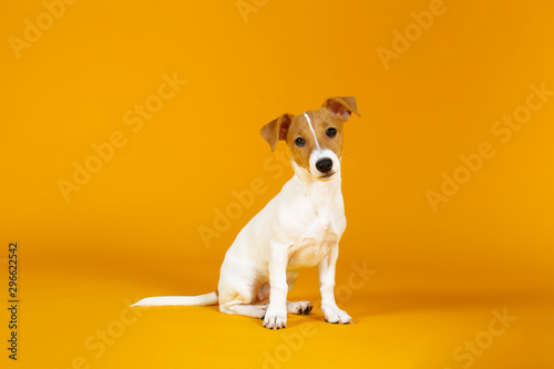 Cute two months old Jack Russel terrier puppy with folded ears. Small adorable doggy with funny fur stains isolated on yellow background. Close up, copy space. - 296622542