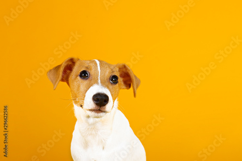 Leinwand Poster  Cute two months old Jack Russel terrier puppy with folded ears