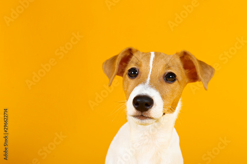 Foto  Cute two months old Jack Russel terrier puppy with folded ears