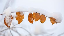 Shrub Branch With Dry Snow Covered Leaves In A City Park On A Sunny Day.