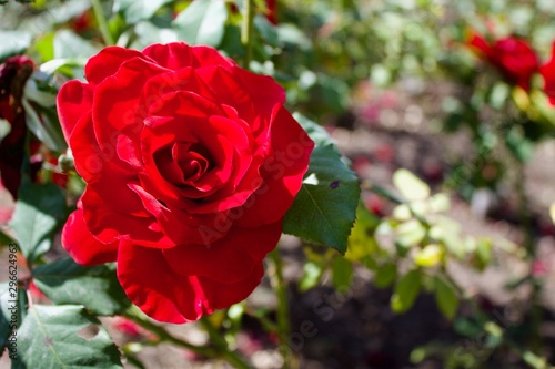 bright red rose in garden