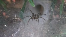 Funnel Web Spider Guarding Nes...