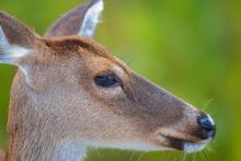 Head Shot Of Doe/deer
