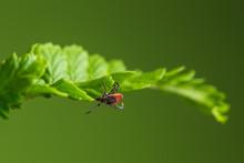 Wood Tick Hangs On A Leaf. Green Background. Lurking Wood Tick.