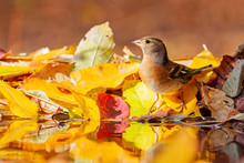 Beautiful Wild Bird ,brambling In The Autumn Forest Drinks Water
