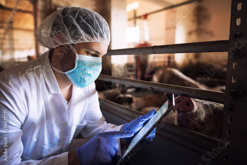 plakat Veterinarian animal doctor at pig farm checking health status of pigs domestic animals on his tablet computer in pigpen. Health concept. Food quality control and meat inspection.