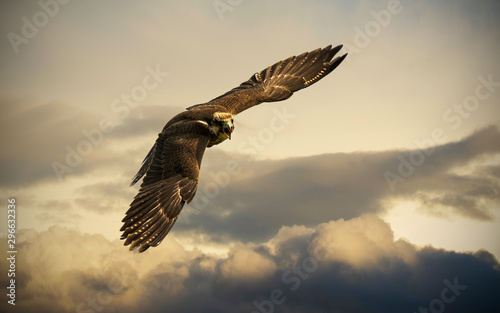 eagle in flight Wallpaper Mural