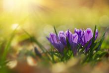 Fairytale Sunlight On Spring Flower Crocus. View Of Magic Blooming Spring Flowers Crocus Growing In Wildlife. Majestic Colors Of Spring Flower Crocus
