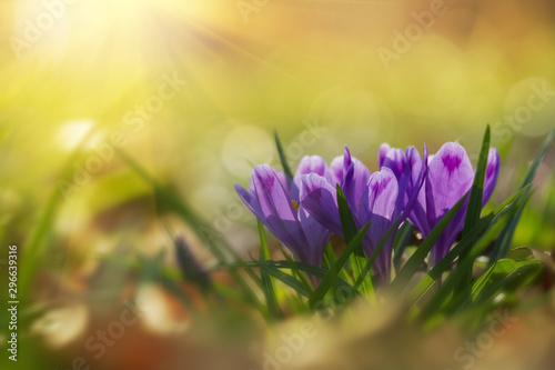 Fairytale sunlight on spring flower crocus. View of magic blooming spring flowers crocus growing in wildlife. Majestic colors of spring flower crocus