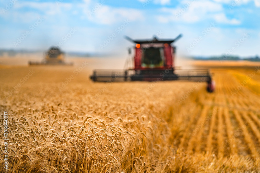 Fototapeta Corn in field closeup. Red grain harvesting combine in a sunny day in a blurred background . Yellow field with grain. Agricultural technic works in field.