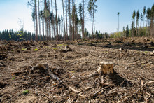 Forest Attacked By Bark Beetle. Felled Trees