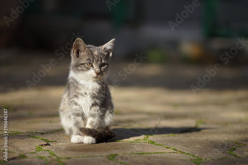 Beautiful ashen kitten sits on a stone road, bright sunlight and shadow Canvas Print