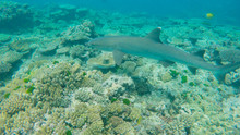 Close Up Of A White Tipped Shark On A Reef At Heron Island