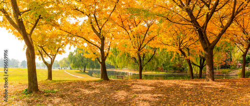 Poster Jardin Beautiful yellow ginkgo tree in autumn garden