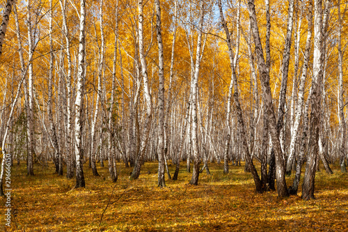 Landscape autumn birch forest, yellow leaves on the trees, blue sky on a sunny day. © Prikhodko