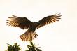bird with its wings spread / Phalcoboenus chimango