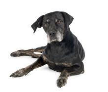 Mixed-breed Labrador Retriever