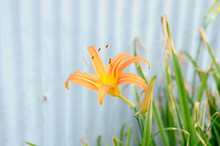 オレンジ色の花 カン...