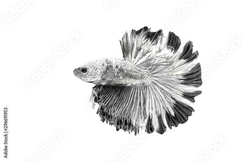 Siamese Fighting Fish , Betta splendens , Black and white on White Background, H Canvas Print