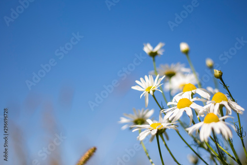 Foto op Canvas Madeliefjes medicinal chamomile against the blue sky in soft focus