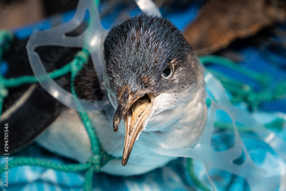 Fototapety, obrazy: Marine plastic pollution and nature conservation concept - penguin trapped in plastic net