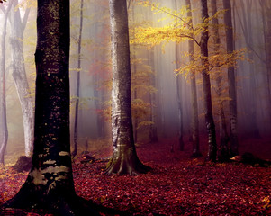 Fototapeta Vintage Beech autumn forest in the fog in the early morning. Gloomy fantastic magic forest.