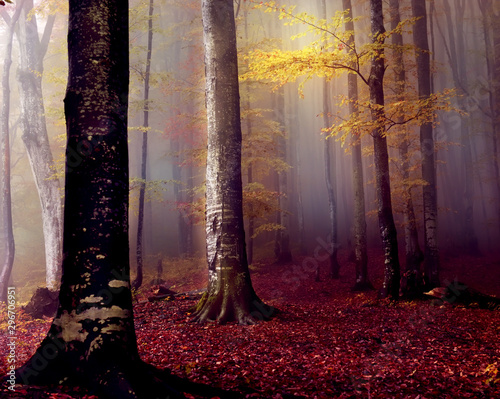 Montage in der Fensternische Cappuccino Beech autumn forest in the fog in the early morning. Gloomy fantastic magic forest.