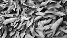 Dry Leaf Background With Black...
