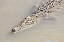 Crocodile In Water, Photo As A Background