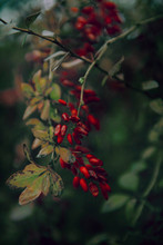 Bright Fruits Of Barberry Under The Window In The Village.