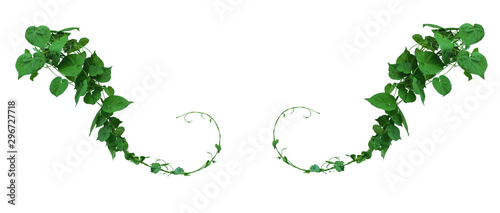 Photo Vine with green leaves, heart shaped, twisted separately on a white background