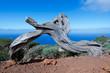 Stamm eines abgestorbenen Sabina Wacholderbaums auf der Insel El Hierro, Kanarische Inseln