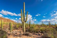 Giant Saguaros In Saguaro Nati...