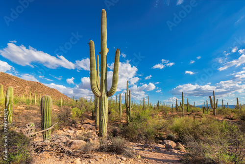 Foto Giant saguaros in Saguaro National Park, Tucson, Arizona, USA