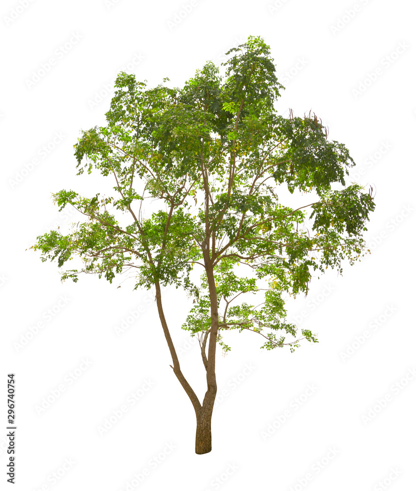 Fototapety, obrazy: Millingtonia hortensis tree isolated on white background