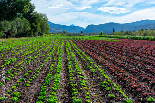 Obraz Farm field with rows of young sprouts of green salad lettuce growing outside under greek sun. - fototapety do salonu