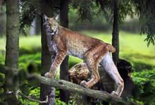 Majestic Lynx Walk. Wild Anima...