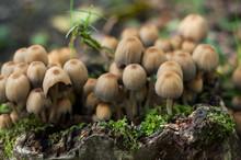 Closeup Of Little Mushrooms In...