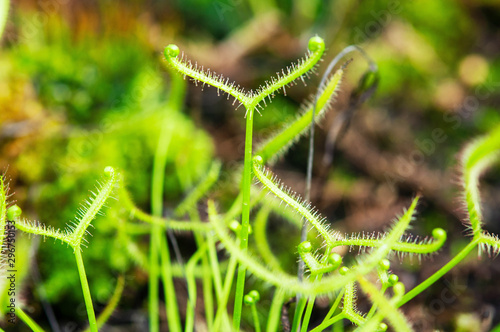 Cuadros en Lienzo  Insectivorous plant Drosera close up showing its sticky drops to capture insect