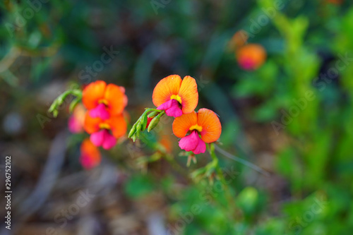View of a Yellow-Eyed Flame Pea purple and orange flower (Chorizema dicksonii) in Australia