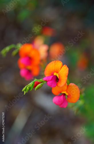 View of a Yellow-Eyed Flame Pea purple and orange flower (Chorizema dicksonii) in Australia
