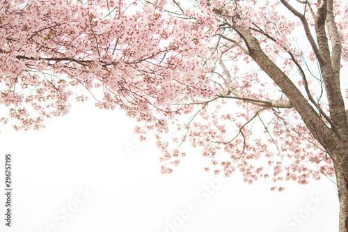 満開の桜 Canvas Print