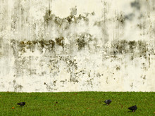 Aged Street Grunge Wall With Green Grass Lawn And Pigeon