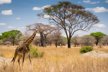 African Giraffe In The Grass Passing By In Serengeti National Park. Tanzania. Amazing Blue Sky And Green Tree And Yellow Grass
