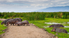 Family Of African Hippo (hippopotamus) In The Water And On The Road Passing By In Lake Manyara National Park. Tanzania. Amazing Blue Sky And Green Tree And Grass, Mountain In The Background