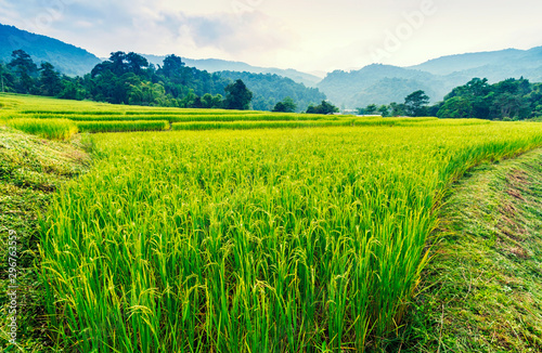 Photo sur Aluminium Vert chaux Green and yellow color terraced rice field in north of Thailand