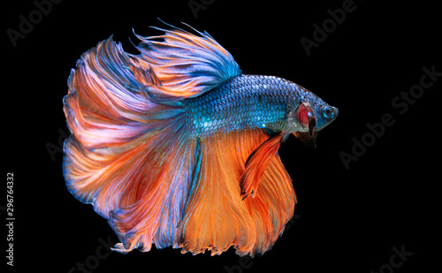 Beautiful colorsHalfmoon Betta capture the moving moment beautiful of siam bet Canvas Print