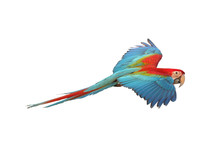 Colorful Flying Parrot Isolated On White Background.