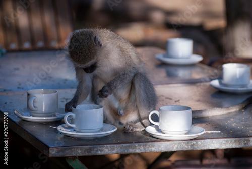Fényképezés Vervet monkey,Kruger National Park,South Africa